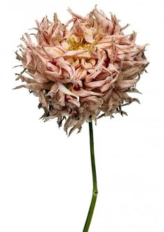 French artist Rachel Lévy photographs the beauty of decaying flowers.