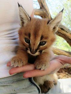 The caracal, the cutest kind of cat - AURELIE ANSCIEAU - - Le caracal, la plus mignonne espèce de chat The most cute caracal cat species Baby Caracal, Caracal Cat, Lynx Kitten, Lynx Lynx, Serval, Kitten Meowing, Cute Kittens, Cats And Kittens, Baby Cats