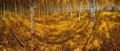 Grand Mesa Aspen Trees - http://tmophoto.smugmug.com/