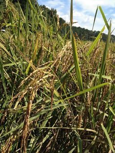 While working out in the field, Robert Strange snapped these beautiful pictures of Carolina Gold rice being grown in the ACE Basin down on Lavington Plantation. Photo shared by the Lowcountry Open Land Trust.