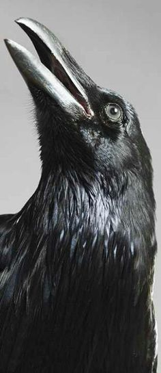 The raven is a big black bird, a member of the crow family. It is all black with a large bill, and long wings. The Crow, Beautiful Birds, Animals Beautiful, Beautiful Pictures, Tatoo Bird, Spirit Animal Totem, Quoth The Raven, Raven Bird, Jackdaw