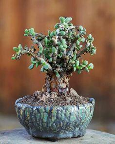 Ceraria pygmeae
