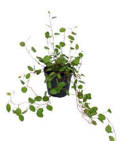 Muelhlenbeckia Angel Vine Fairy Garden Plants, Garden Trees, Container Gardening, Gardening Tips, Indoor Gardening, Terrarium Plants, Terrarium Ideas, Angel Plant, Dish Garden