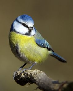 The Eurasian Blue Tit - Cyanistes caeruleus, is a small passerine bird in the tit family Paridae. This species is widespread and a common resident breeder throughout temperate and subarctic Europe and western Asia in deciduous or mixed woodlands with. Small Birds, Little Birds, Colorful Birds, Pretty Birds, Love Birds, Beautiful Birds, Parus Major, Blue Tit, Bird Pictures