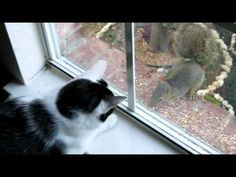 Cat vs. Squirrel -  Rudy's lament -  #bird #birds  #birding #animale #bird_watchers_daily #animal #birdwatching #pets #nature_seekers #birdlovers A brave little squirrel taunts our cat Rudy. Eve shot this video of Rudy going nuts while the squirrel calmly sat there eating nuts we had put out for the birds. It knew the cat... - #Birds