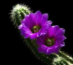Purple cactus flower