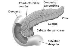 Pancreasanatomia.jpg (800×584)