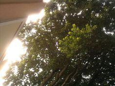 O Sol e a copa das árvores na rua dos Oitis!!