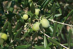 Oliven am Baum in Portugal, Olivenöl