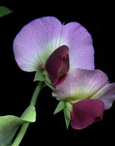 54394-03 Pisum sativum var. macrocarpon | by horticultural art