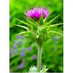 Ostropestrec mariánsky - Silybum marianum Dandelion, Herbs, Flowers, Plants, Dandelions, Herb, Flora, Plant, Royal Icing Flowers