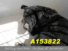 NO SHARES!! NOBODY WANTS ME - This DOG - ID#A153822  I am a female, black and white Pit Bull Terrier and Alaskan Malamute.  The shelter staff think I am about 4 months old.  I have been at the shelter since Apr 09, 2014. https://www.facebook.com/photo.php?fbid=477644032337876&set=a.397881533647460.1073741849.120830141352602&type=3&theater