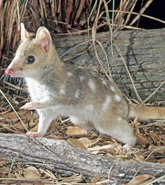 This is a quoll, a marsupial found only on the Australian mainland, Tasmania, and New Guinea.