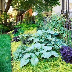 Golden creeping Jenny, which practically glows underneath a planting of blue hostas, purple coleus, and black mondo grass).