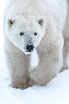 """expressions-of-nature: """" The Lord of the Arctic : Sergei Ivanov """""""