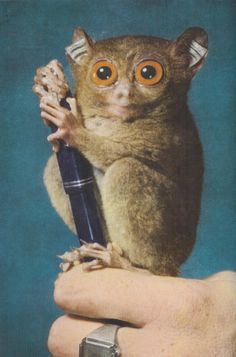 A 5-inch Philippine Tarsier clings onto a fountain pen, 1957