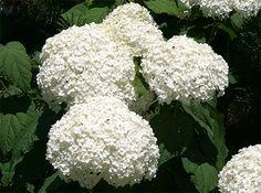 Pruning Hydrangea: 2 Groups