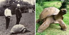 Funny pictures about Johnathan The Turtle Is Really Old. Oh, and cool pics about Johnathan The Turtle Is Really Old. Also, Johnathan The Turtle Is Really Old photos. Kinder In Not, Daily 5, Giant Tortoise, Sulcata Tortoise, Tortoise Turtle, Wtf Fun Facts, Random Facts, True Facts, Mundo Animal