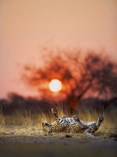 Sunset against Leopard in South Africa