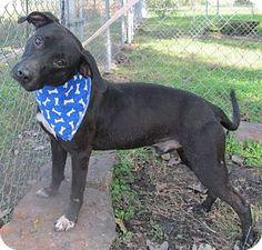 Missouri City, TX - Labrador Retriever Mix. Meet Ramsey-John, a dog for adoption. http://www.adoptapet.com/pet/10225685-missouri-city-texas-labrador-retriever-mix
