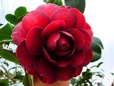Camellia japonica 'Georgia Fire' (U.S., 2000)