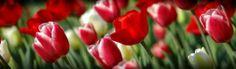 Red Tulips Header