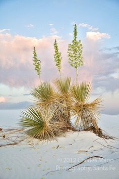 Yuccas in bloom at dusk at the White sands National Monument in May near Alamagordo, New Mexico