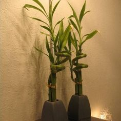Care for Bamboo Stalks