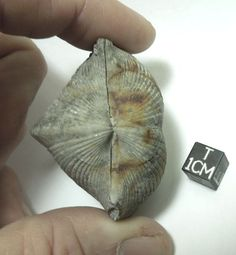 Fossil brachiopod. Both halves of a bivalve shell. North America locality. Numerous specimens available at Galactic Stone and Ironworks.