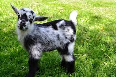 Henry, one of our Nigerian Dwarf Goats at Mountain View Grand