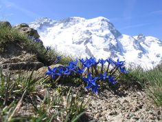 Signs of life, of winter ending and spring approaching. Mountain Breithorn (4164 m, Swiss Alps) with gentian (Gentiana brachyphylla) in the foreground (from near station Rotenboden)