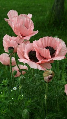 Pink Poppies l Papaver Princess Victoria Louise Most Beautiful Flowers, My Flower, Pretty Flowers, Beautiful Gardens, Flower Power, Pink Poppies, Pink Flowers, Poppy Flowers, Poppy Bouquet