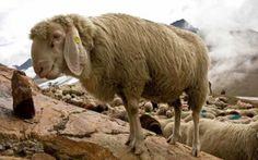 Rosmarinonews.it | La Val Senales e le sue tradizioni. Assistere alla transumanza di settembre