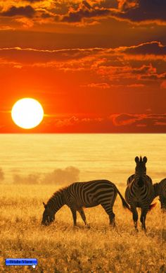 Zebras on Sunset