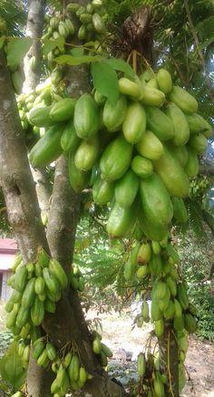 Averrhoa bilimbi, Cucumber tree or Belimbing buluh... Camias in Philippines..