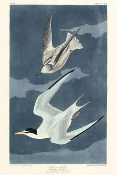 Lesser Tern from Birds of America (1827) by John James Audubon (1785 - 1851), etched by Robert Havell (1793 - 1878). The original Birds of America is the most expensive printed book in the world and a truly awe-inspiring classic. Free public domain | www.rawpixel.com