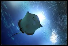 It could be a Blue (Dasyatis chrysonota) or a Blue-spotted ray (Neotrygon kuhlii)