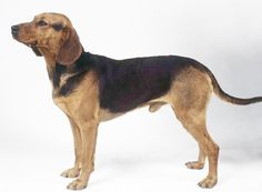 Serbian Hound (Balkan Hound) Rare Dogs, Pet Dogs, Pets, Different Dogs, Purebred Dogs, Dog Lady, Hound Dog, Dog Names, I Love Dogs