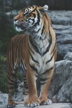 tigers are forever, - wild - Animals Big Cats, Cats And Kittens, Cute Cats, Cats Bus, Nature Animals, Animals And Pets, Cute Animals, Wild Animals, Baby Animals