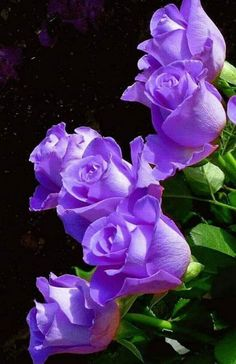 Here's what we found about purple flowers. Read up the info about purple flowers, and learn more about it! Beautiful Rose Flowers, All Flowers, Amazing Flowers, Love Rose Flower, Lavender Roses, Purple Flowers, Pink Roses, Rose Violette, Color Rosa