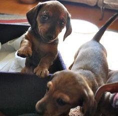 wiener dog puppies