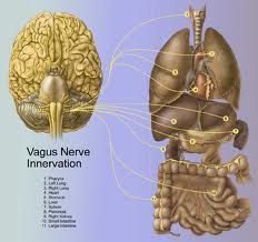 """The vagus nerve, emotions and the difficulty with mindfulness practices """"Now, many people who don't know a lot about trauma think that trauma has something to do with something that happened to you a long time ago. In fact, the past is the past and the… Mindfulness Practice, Mindfulness Meditation, Sudarshan Kriya, Craniosacral Therapy, Vagus Nerve, Stress, Brain Health, Gut Health, Health Facts"""