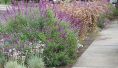 I love Salvia greggii - the purple flowers are beautiful and it is drought and deer resistant!