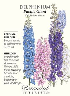 Perennial. A magnificent plant in your garden, particularly nice when grown in groups of three. Pacific Giant is one of the best of these large beauties. Tall, elegant spires of closely packed, large,