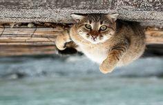 Ceiling cat - http://cutecatshq.com/cats/ceiling-cat/