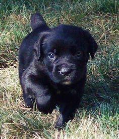 Cane Corso puppy. Awww.