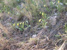 Fritillaria pelinaea_ Insel Chios