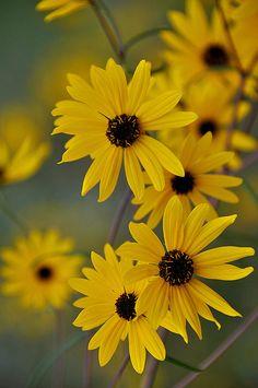 Black Eyed Susans, the Maryland state flower!