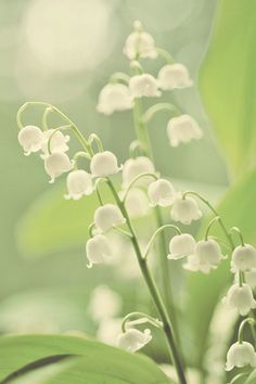 lily of the valley - One of my Mom's favorite flowers and scents.  I think of her whenever I see it or smell it.