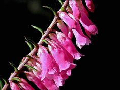 Pink Heath, State emblem, Victoria